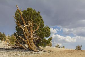Bristlecone Pine1*_3501