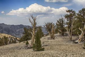 Bristlecone Pines4*_3497