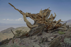 Uprooted Bristlecone Pine*_3478