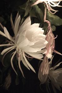 Cereus #6  Bloom